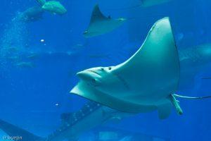 美ら海水族館のエイ